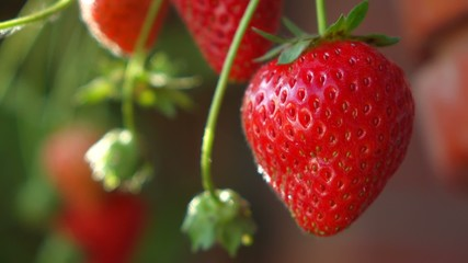 Close up of some ripe strawberries in the plantation