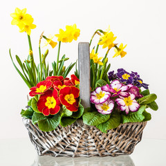 Primulas. Basket of Spring Flowers