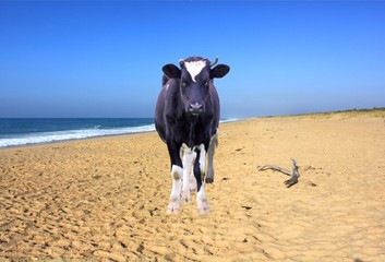 Cow on beach, composite image