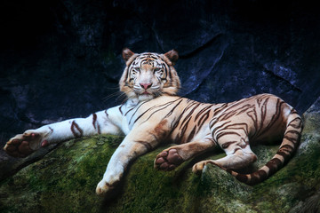 special color tiger lying with relaxing on rock clift and lookin