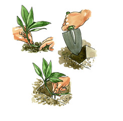 The method of planting of the stem plants. Botany