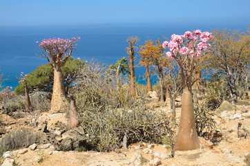 Сокотрийский пейзаж с бутылочными деревьями