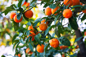 branch with mandarins on tree