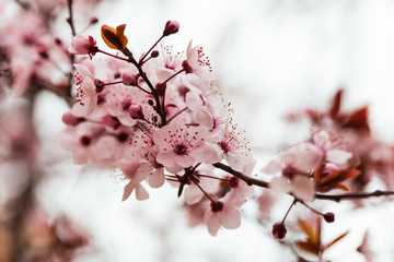 almond tree branch with flowers in spring
