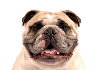 Englische Bulldogge Kopfportrait