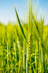 ears of wheat on the field, soft focus