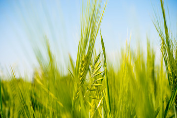 green ears of wheat on the field, soft focus