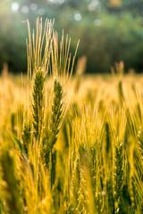 field of the rye on sunlight