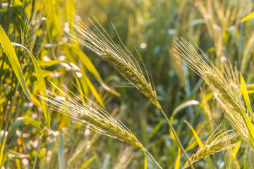field of the rye on sunlight, the harvest
