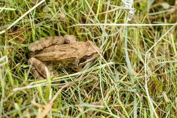 Rana Temporaria frog in the grass
