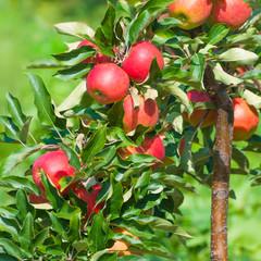 Apfelernte, Obstplantage, gesundes Obst