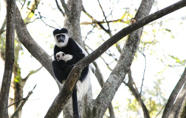 A beautiful Colobus monkey with baby