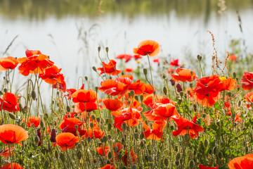 Picturesque poppy composition