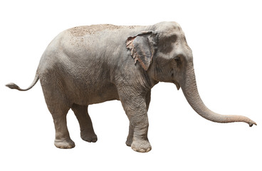 side view of asian elephant playing isolated white background us