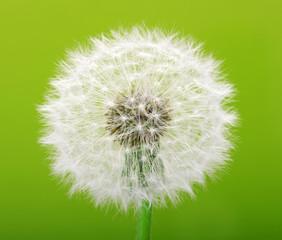 dandelion © Alekss
