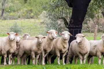 Pecore, Gregge