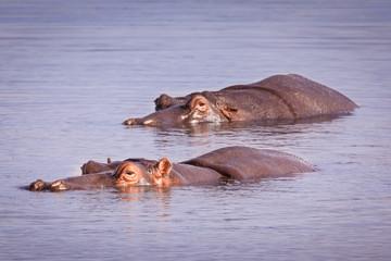 Swimming Hippos