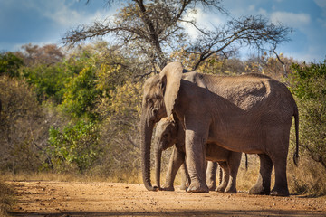 Elephant calf and mum