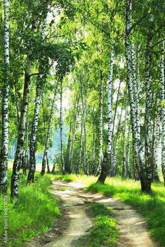 forest birch - 66218016