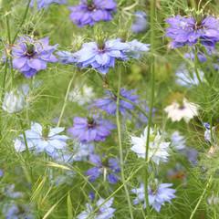 nigella in fiore_ giardino