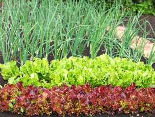 garden bed of lettuce and onions