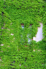 Building Wall Covered with Ivy