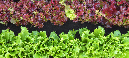garden bed of lettuce