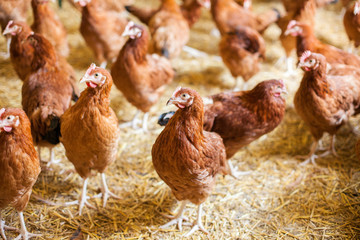 Chickens on the farm, free range farming