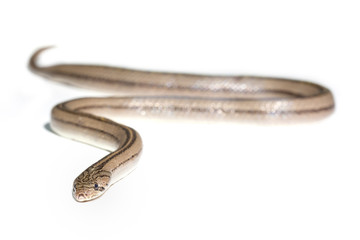 Close up snake on white background isolated