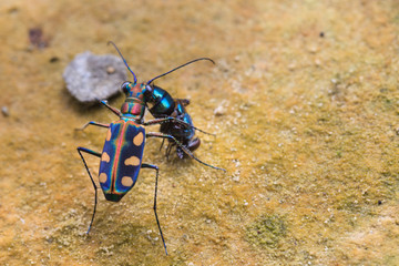 Tiger beetle eating a fly
