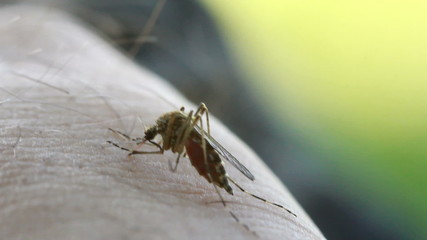 Bloodsucking Mosquito