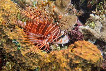 Squid cuttlefish underwater while eating shrimp