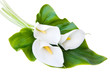 three white Calla lilies on a white background