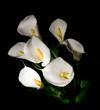 seven white Calla lily on a black background