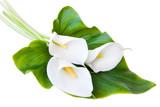 Fototapety three white Calla lilies on a white background