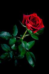 Rose isolated on black