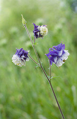 flowers of aquilegia with the little depth of focus