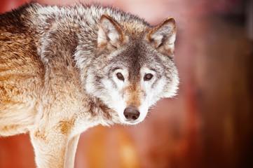 Closeup portrait of a wild wolf