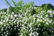 dogrose bush