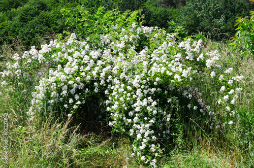 blossoming bush of a dogrose
