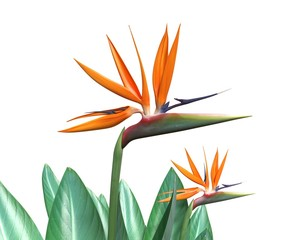 3d illustration of a Bird of Paradise Flower