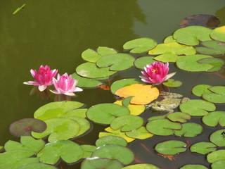 Pink Lotus in water