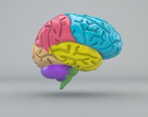 Cervello divisione organo struttura