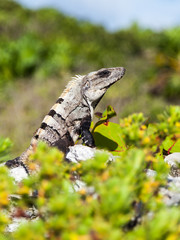 Portrait of a large gray-brown iguana in its natural habitat