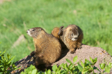 Yellow-bellied Marmots on rock