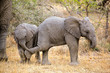 Playful baby African elephants