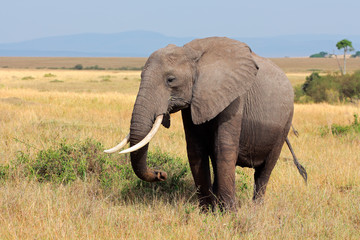 African elephant, Masai Mara National Reserve