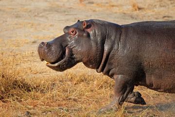 Charging hippopotamus