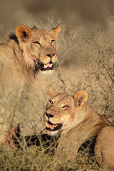 Portrait of two feeding African lions lions
