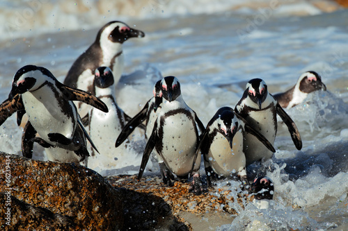 In de dag Pinguin African penguins (Spheniscus demersus)